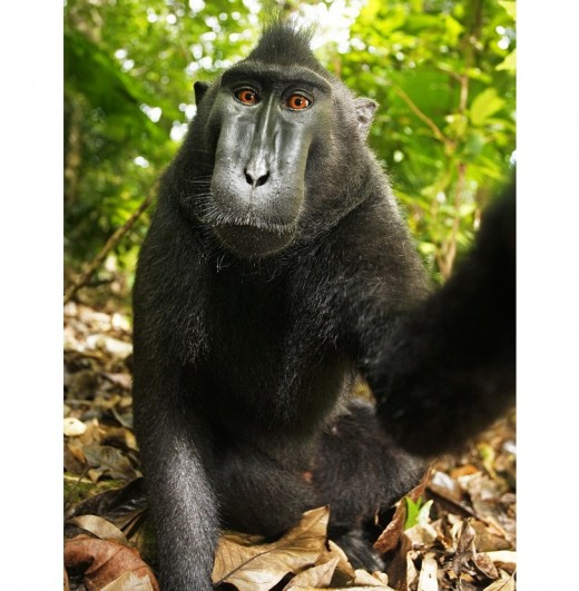 Full length self portrait taken by Macaque monkey. These selfies are works in the public domain unless and until a US Court determines otherwise.