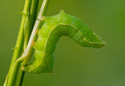 Green Caterpillar Identification and Guide