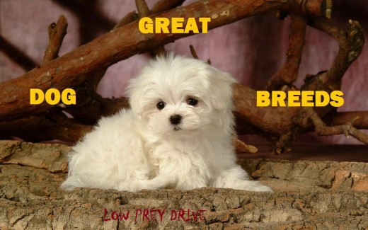 A Maltese puppy is smaller than most prey animals.