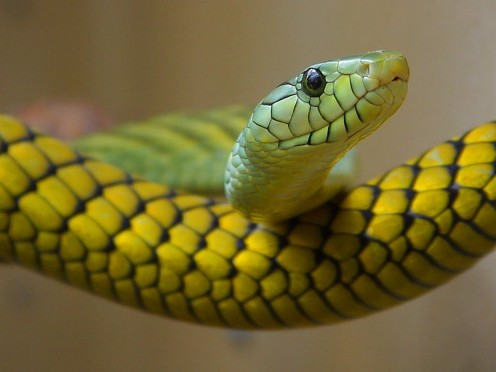 "A ""snake head"" is a dealer in illegal immigrants. The snakes are those immigrants, stuffed tightly into vans and trucks."