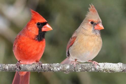 A pair of Cardinals on a limb