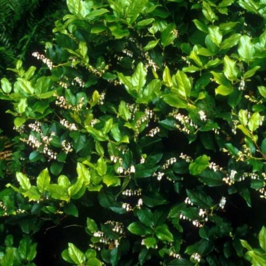 salal hedge
