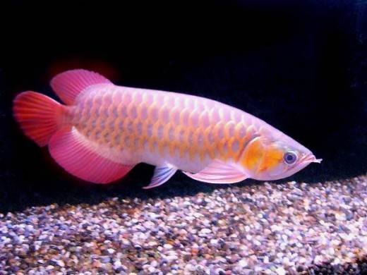Arowanas can leap above water to catch passing insects, this is the reason why fish hobbyists cover their fish tanks to avoid enticing them to jump out of the aquarium to catch lizards, cockroach or any insects.