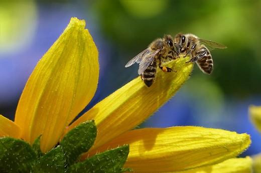 The Honey Bee Maker