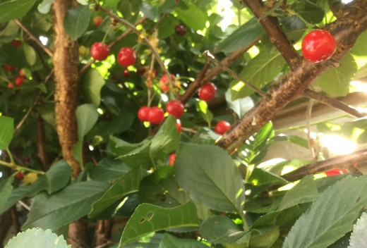 Bunches of fruit ready to harvest