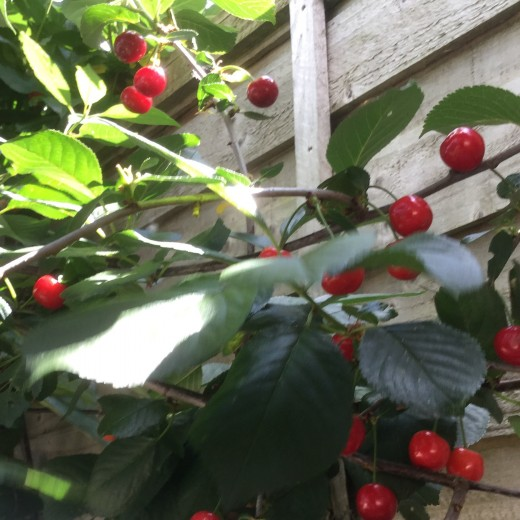 Some cherries will be difficult to reach