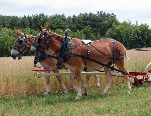 A mule team working the land on the farm