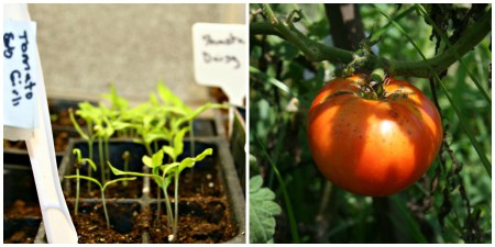 Starting tomatoes from seeds has its advantages. You can grow any variety you'd like.