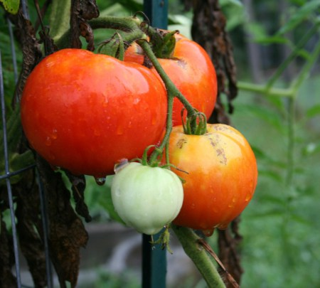 Beefsteak-type tomatoes, large tomatoes for slicing.