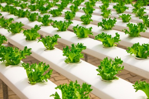 hydroponic agriculture in a greenhouse