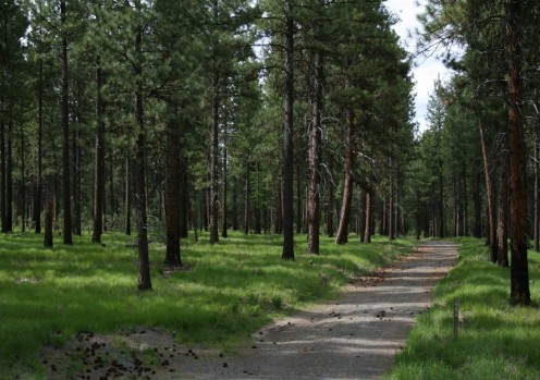 A pine forest in Oregon