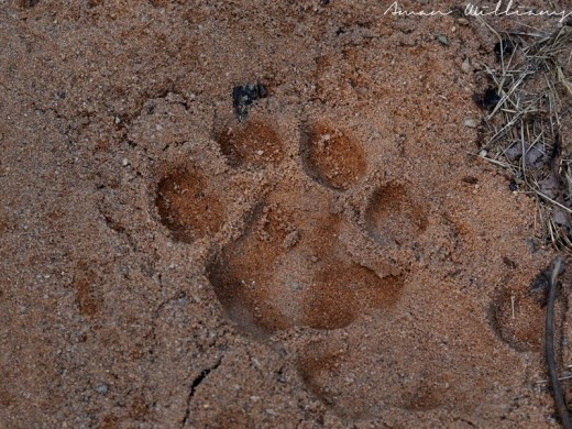 Picture taken at Bandhavgarh Tiger Reserve, India