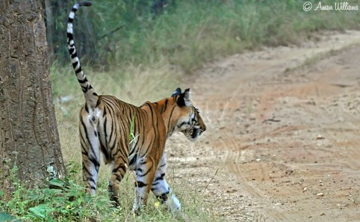 A female in Kanha National Park leaving her scent to lure her mate.