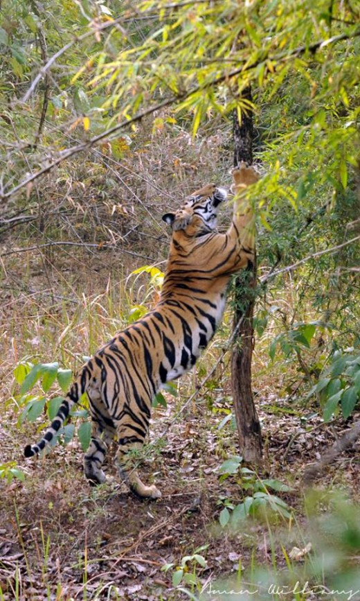 Picture taken at Bandhavgarh National Park, India