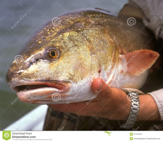 This is not my actual fish, but this is a redfish also known as a red drum.