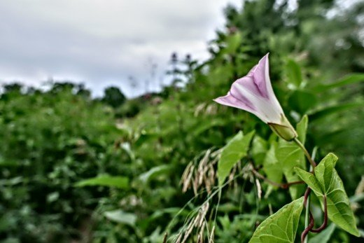 Wild morning glory scaling a host plant