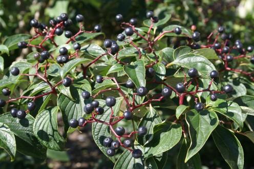 A pagoda dogwood provides birds with a veritable feast of blueish-black berries.