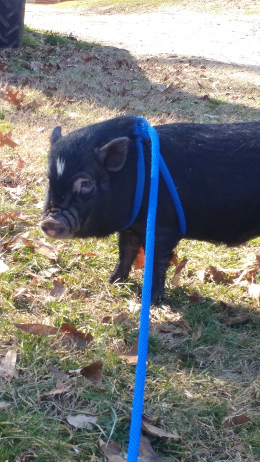 Hamlet practicing his leash walking skills. This is not a pig specific harness, but they do sell them.