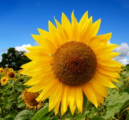 Sunflower have a golden spiral of seed arrangements. Sunflowers can contain the number 89, or even 144.