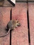 How To Deal With A Rat Swimming Up The Toilet Bowl Dengarden
