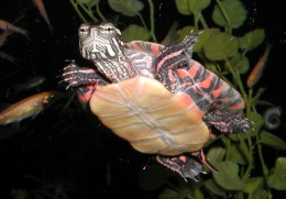 A painted turtle; the bottom of the shell is beautiful!