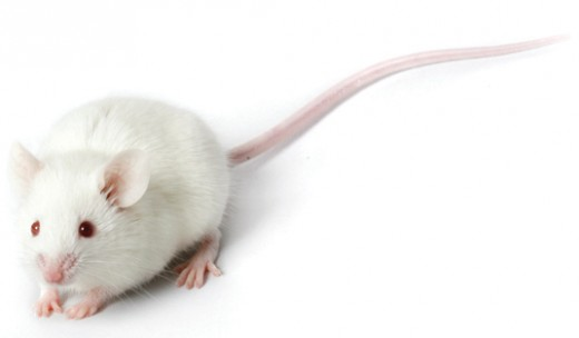 Algernon is a white, laboratory mouse