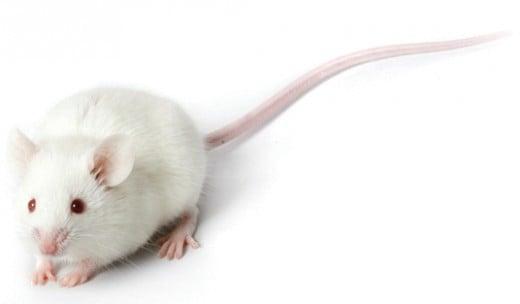 Algernon is a white, laboratory mouse