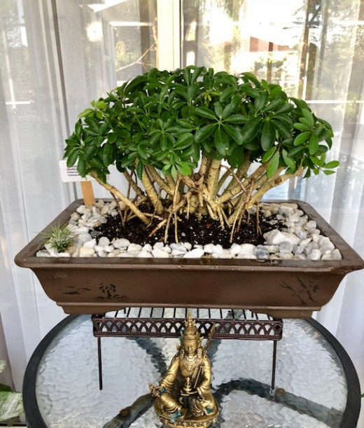 Umbrella (Schefflera) Bonsai I made from 6 year old potted plant