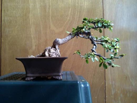 Bullet Tree Bonsai (Bucida Buceras)