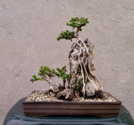 Japanese Musk Maple Bonsai (Premna Microphylla)
