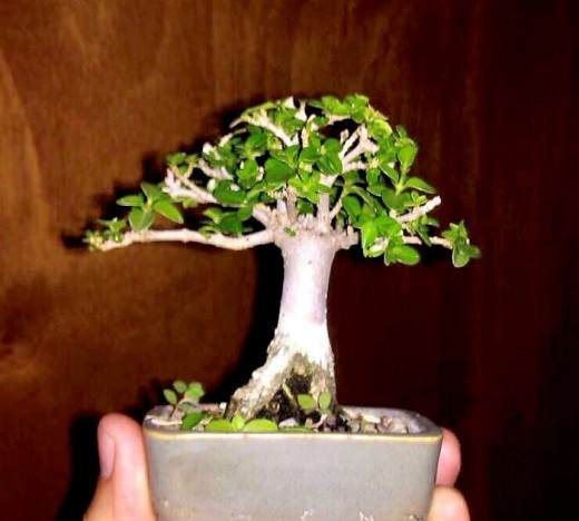 Headache Tree Bonsai (Premna Obstusifolia)