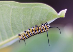 Striped Caterpillar Identification and Guide