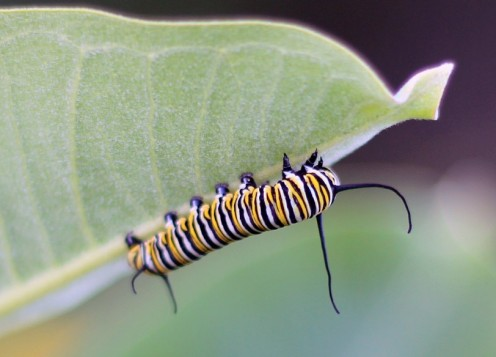 Striped Caterpillar Identification Guide