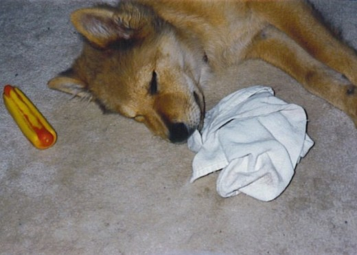 Dolly takes a nap with her rag in her mouth.