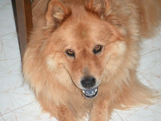 With golden eyes and a purple tongue, this Chow mix was a hit at the vet's office.