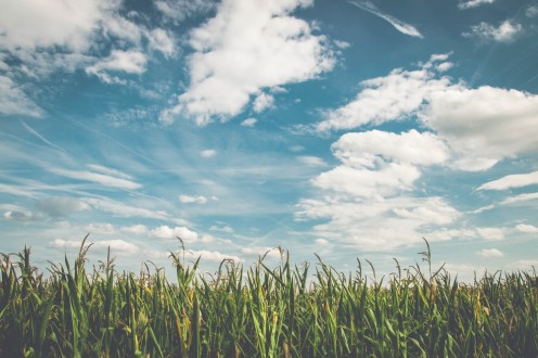 A rural landscape of corn and clouds