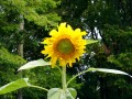 Sunflowers - A Photo Gallery of Different Kinds of Sunflowers