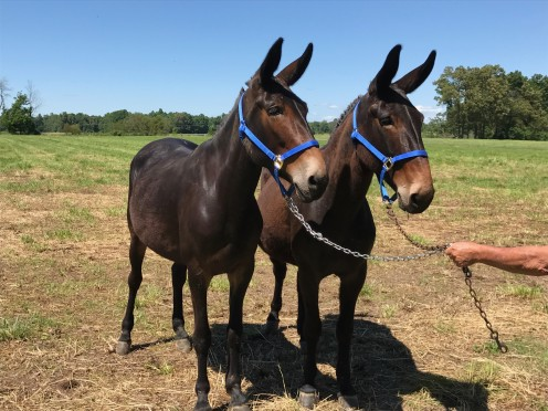 A team of mules ready for work