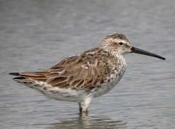 Birding Trip Report: Stilt Sandpiper at Frampton Marsh Nature Reserve 26/08/2018