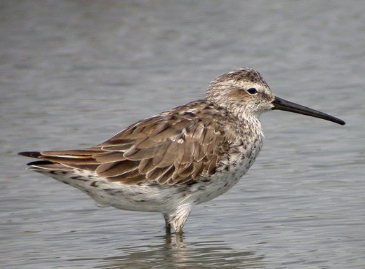 An adult Stilt Sandpiper taken in Texas (not by me) whilst on migration.