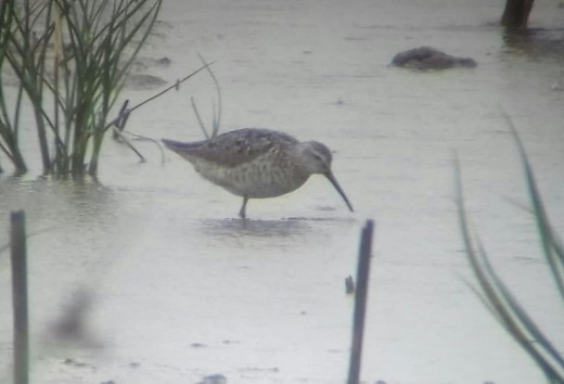 A photo of the Stilt Sandpiper taken by yours truly from the East Hide.