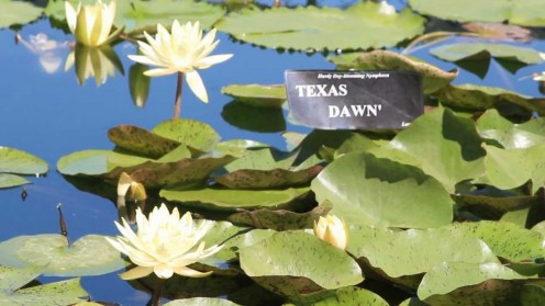 Texas Dawn lily. International Lily Collection in Civic League Park, San Angelo TX.