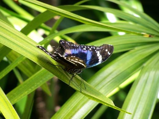 Blue-banded Diadem