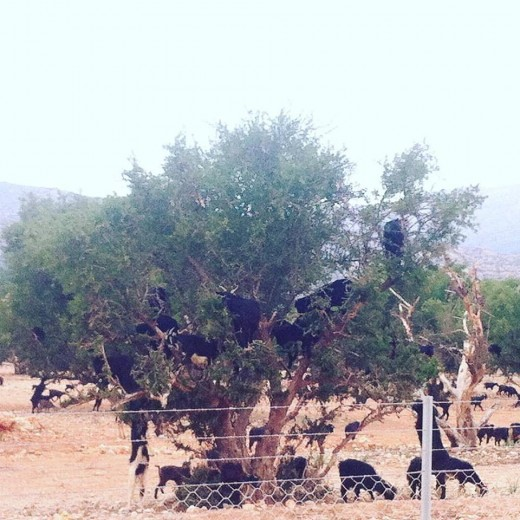 A multitude of goats climb the argan trees in search of a meal.