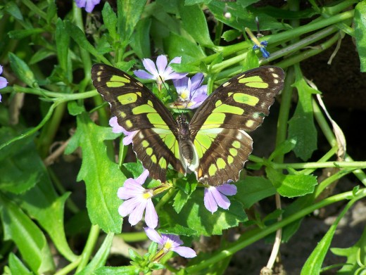 Malachite butterfly: A great example of camouflage.