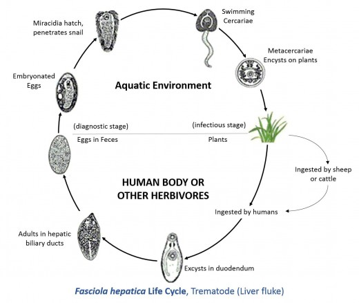 The life cycle of a human liver fluke.