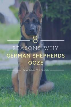 8 Reasons Why German Shepherds Ooze Awesomeness