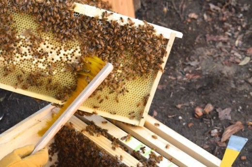 Brushing honey bees off a frame