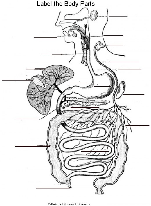 Human Anatomy Coloring Book Example