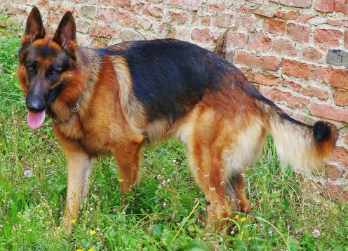 Discovering German Shepherd Coat Colors - Dog Discoveries
